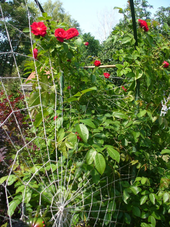 Когда зацветает плетистая роза 1