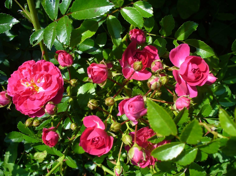 Когда зацветает плетистая роза 5